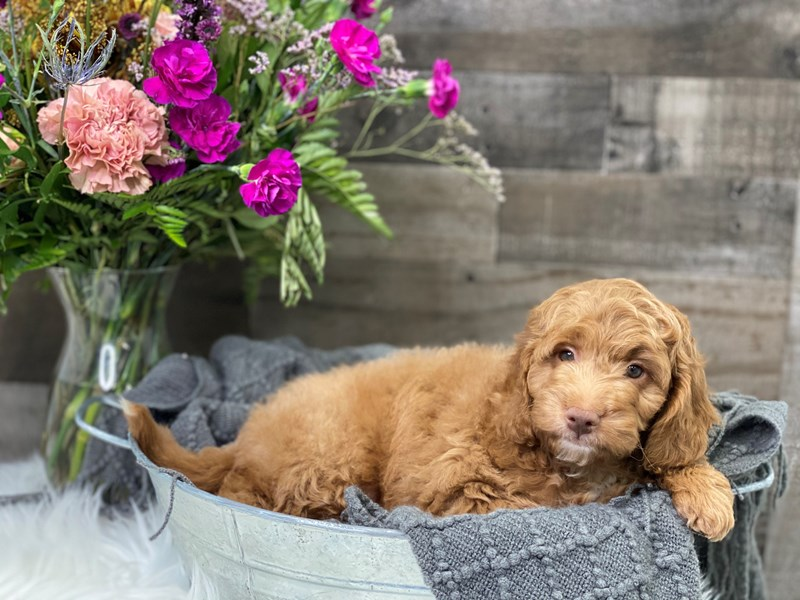 F1B Mini Goldendoodle-Male-Apricot-2901058-The Barking Boutique