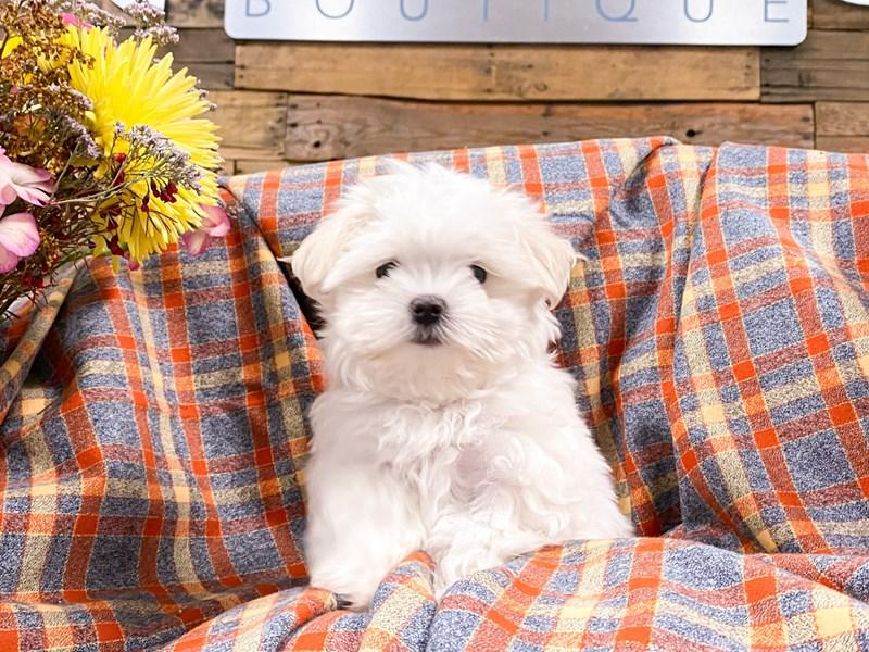 Maltese-Female-White-2901064-The Barking Boutique