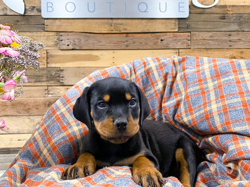 Rottweiler-Female-Black / Tan-2901060-The Barking Boutique
