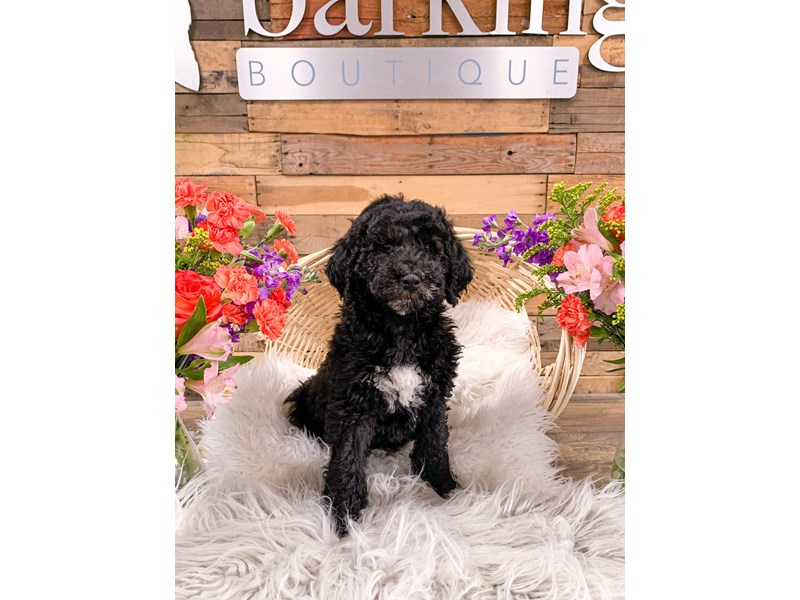 Mini Newfiepoo-Male-Black-2906257-The Barking Boutique