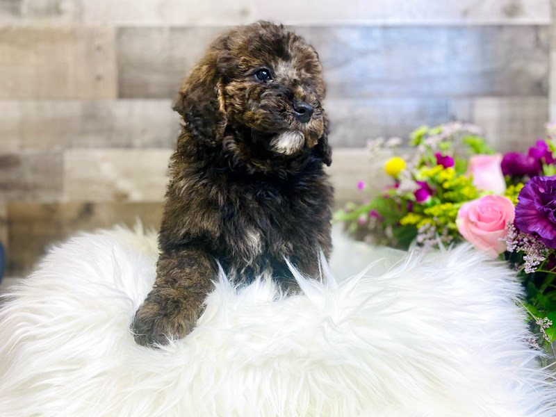 Mini Newfiepoo-Male-Chocolate Merle-2906341-The Barking Boutique