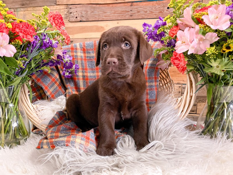 Labrador Retriever-Male-Chocolate-2908461-The Barking Boutique