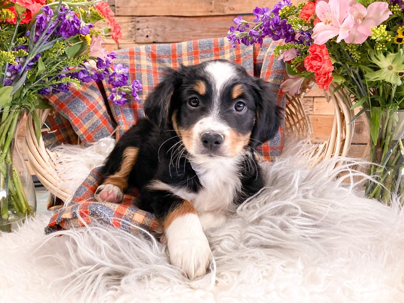 Miniature Australian Shepherd-Female-Black-2908505-The Barking Boutique