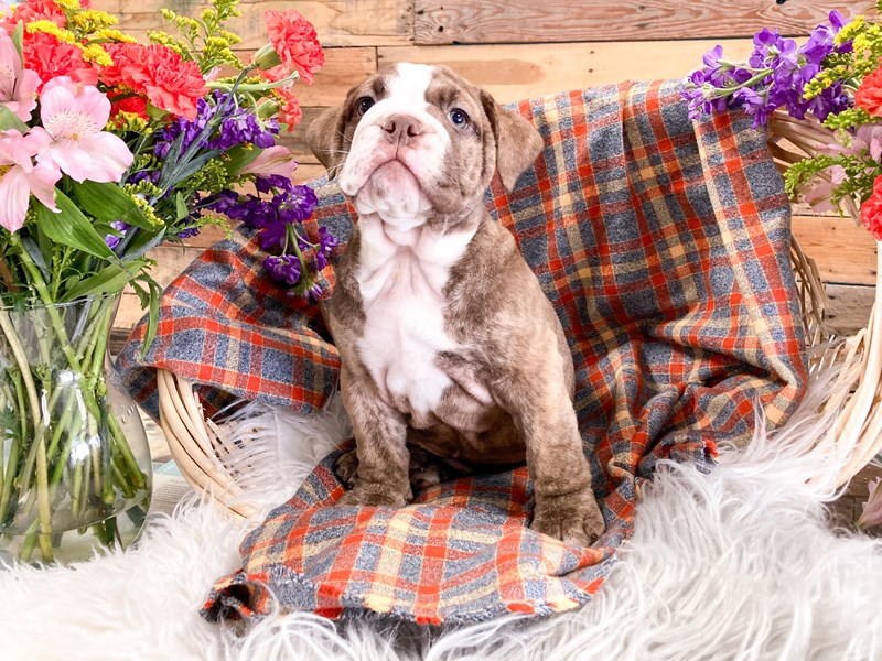 Victorian Bulldoge-Female-Chocolate Brindle-2908511-The Barking Boutique