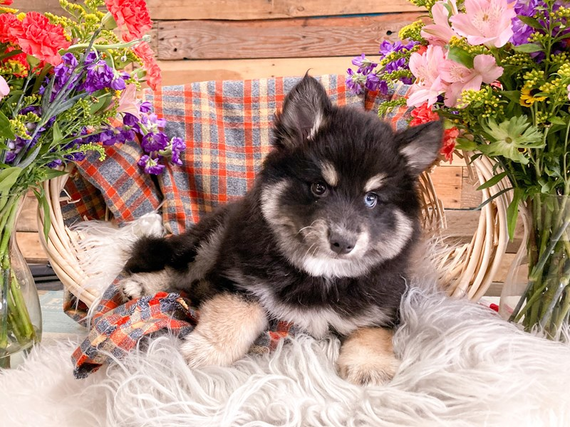 Pomsky-Male-Black / Tan-2908465-The Barking Boutique