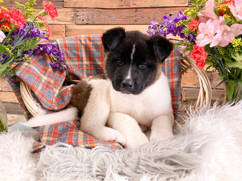 Akita-Female-Black / White-2908513-The Barking Boutique