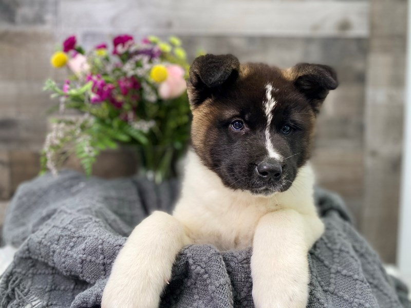 Akita-Female-Black / White-2908514-The Barking Boutique