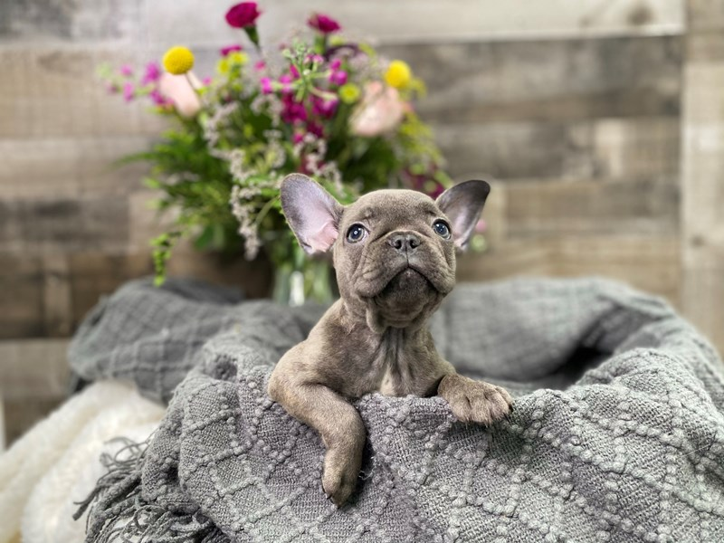 French Bulldog-Male-Blue-2908464-The Barking Boutique