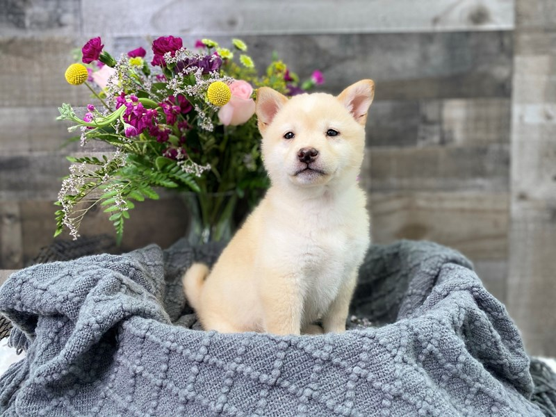 Shiba Inu-Male-Cream-2908468-The Barking Boutique