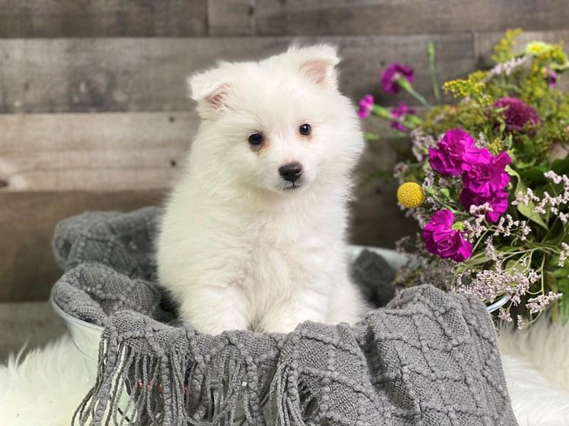 American Eskimo Dog-Male-White-2914980-The Barking Boutique