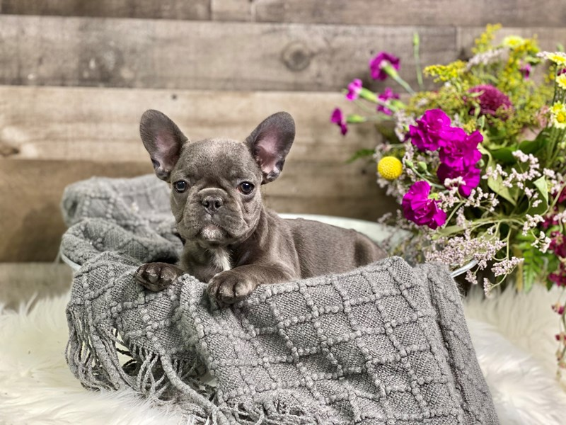 French Bulldog – Dolly Parton
