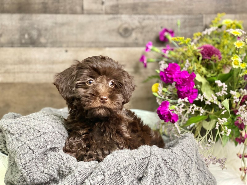 Schnoodle-Female-Chocolate-2908506-The Barking Boutique