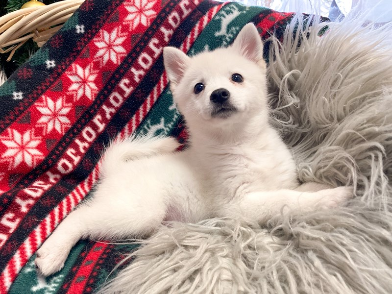 Alaskan Klee Kai/ American Eskimo Dog-Female-White-2914990-The Barking Boutique