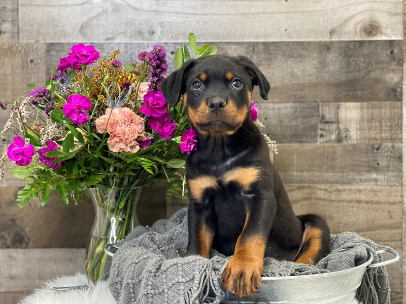 Rottweiler-Male-Black / Tan-2901061-The Barking Boutique