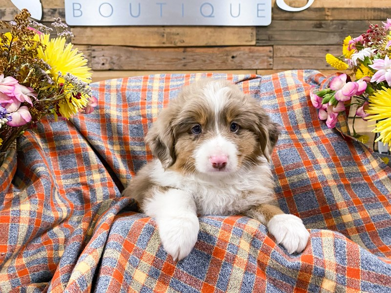 Toy Australian Shepherd-Male-Red Merle-2901082-The Barking Boutique