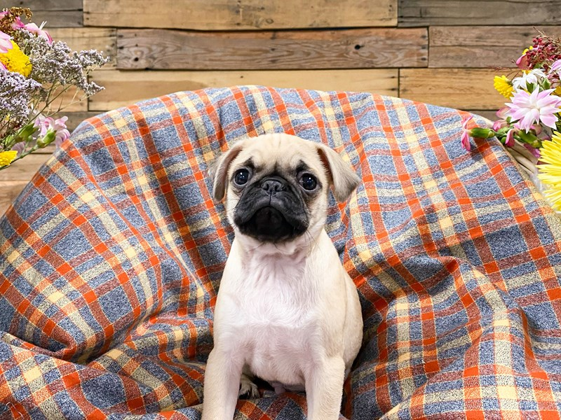 Pug-Male-Fawn-2901056-The Barking Boutique