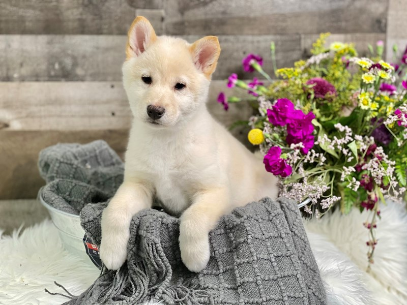 Shiba Inu-Male-Cream-2914983-The Barking Boutique
