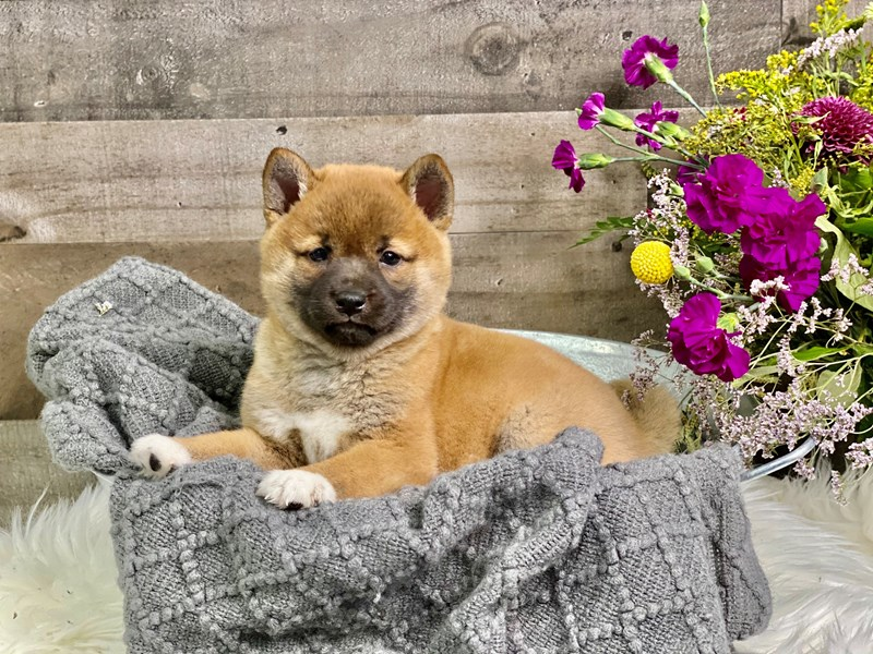 Shiba Inu-Female-Red-2914981-The Barking Boutique