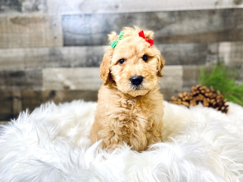 F2 MINI GOLDENDOODLE-Female--2920219-The Barking Boutique