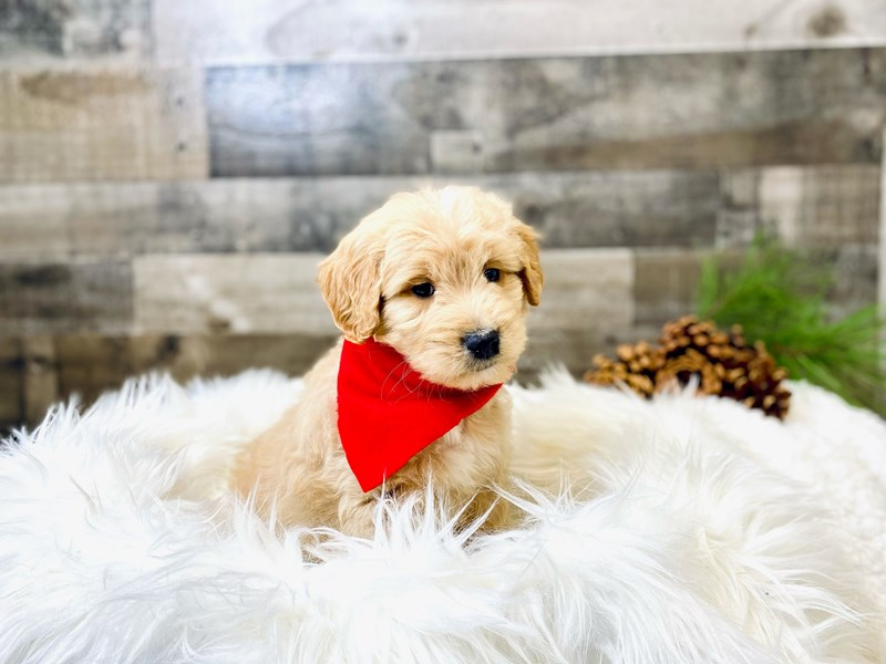 F2 MINI GOLDENDOODLE-Male-Cream/Tan-2920216-The Barking Boutique