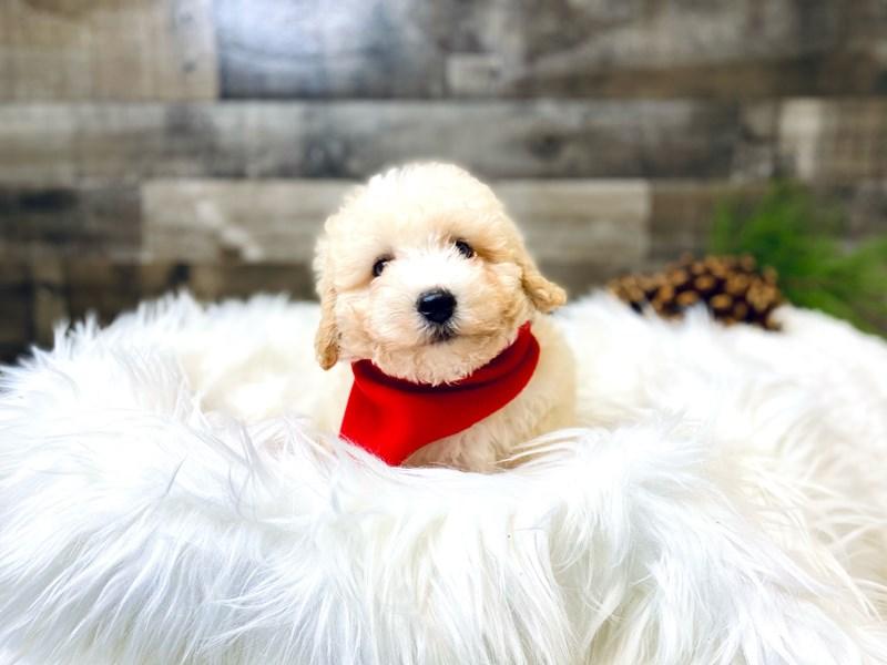 Mini Huskypoo-Male--2920110-The Barking Boutique