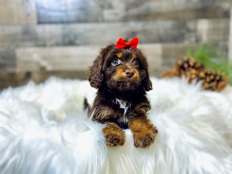 Cavapoo-Female-Choc.-2919985-The Barking Boutique