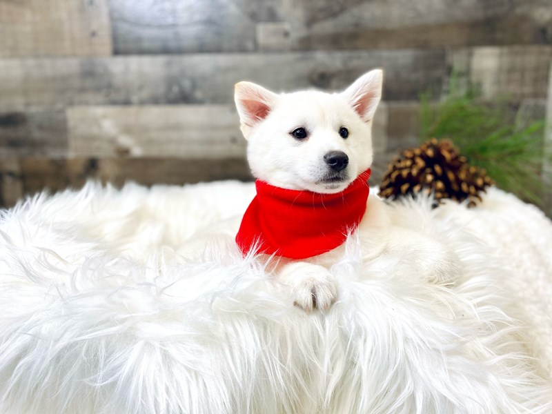 Shibamo-Male-White-2919262-The Barking Boutique