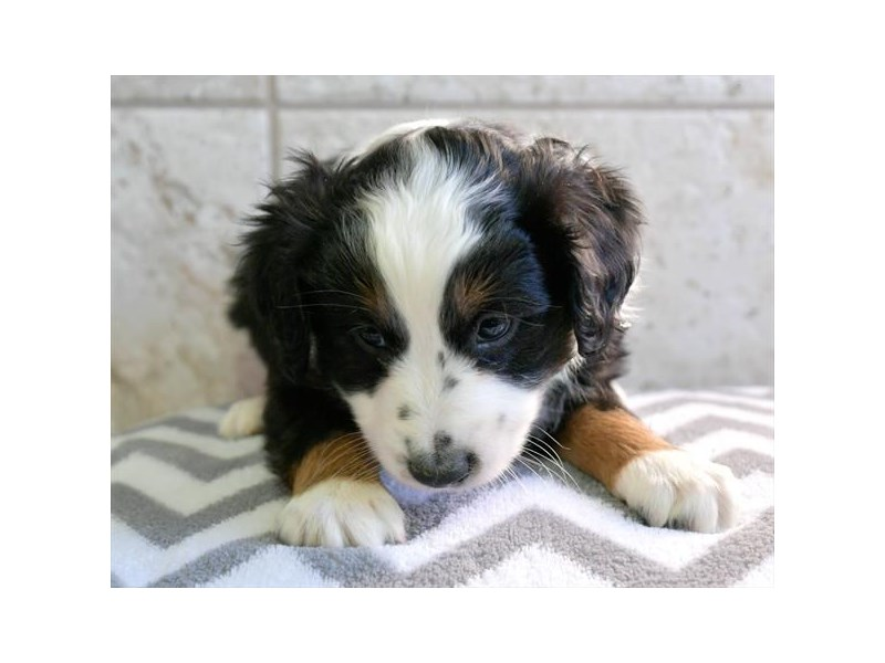 Miniature Australian Shepherd-Male-Black-2922567-The Barking Boutique