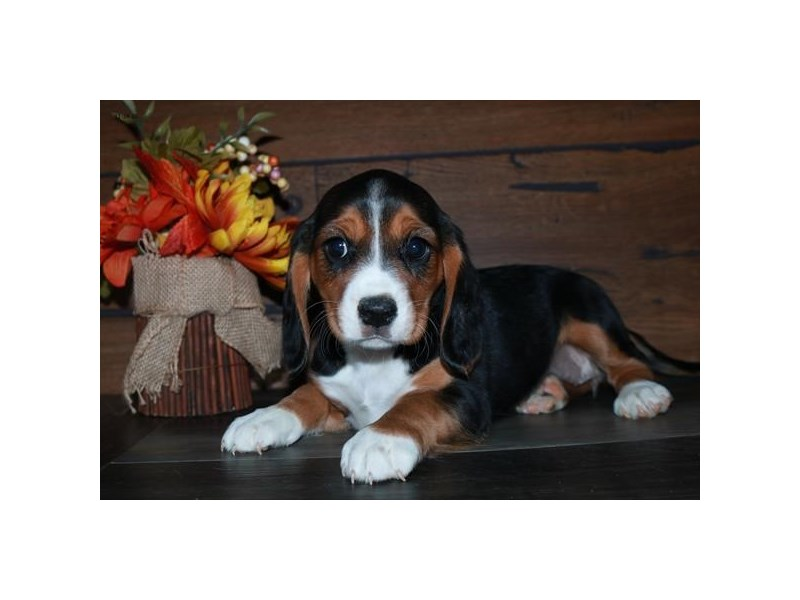 Cavalier King Charles Spaniel/Beagle-Female-Black / White-2922583-The Barking Boutique