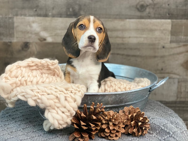 Beagle-Female-Tri-Color-2922678-The Barking Boutique