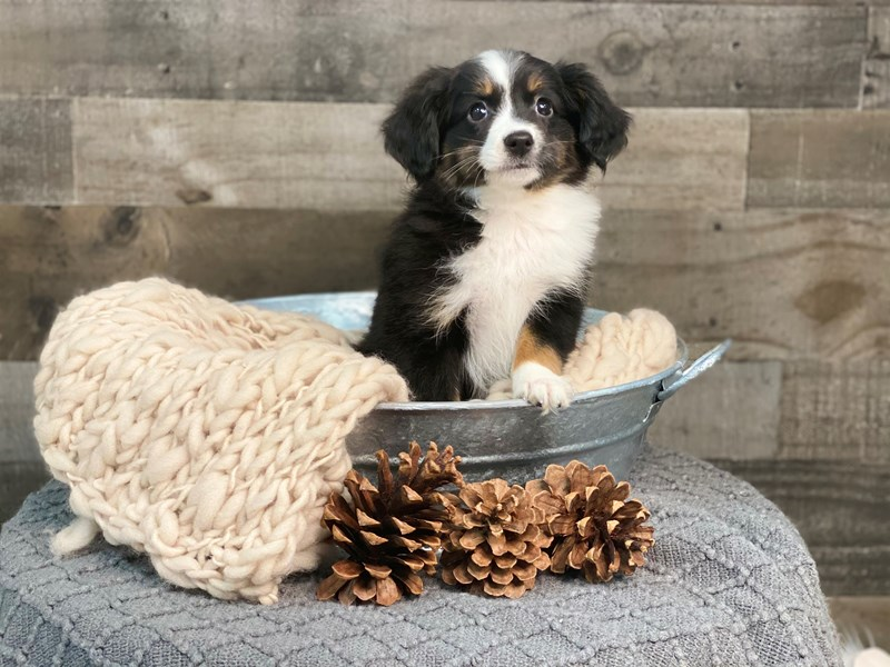 Miniature Australian Shepherd-Female-Black-2922569-The Barking Boutique