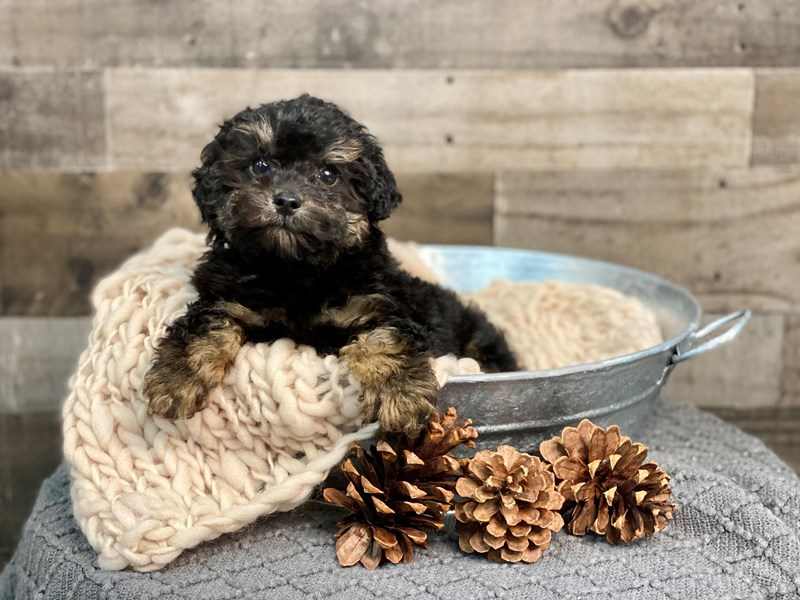 Yorkiepoo-Male-Black-2922452-The Barking Boutique