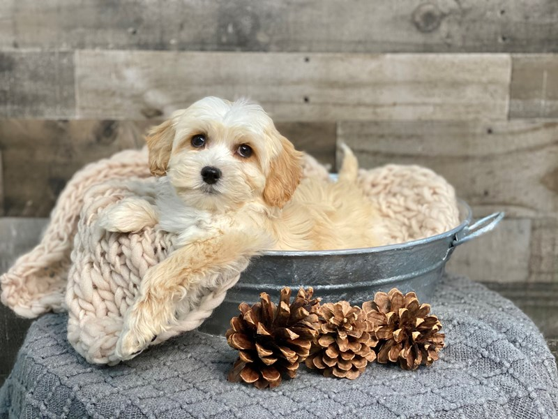 Cavachon-Female-Cream-2922444-The Barking Boutique
