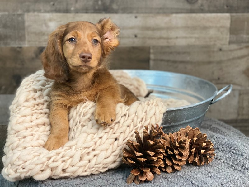 Dachshund-Male-Chocolate-2922506-The Barking Boutique