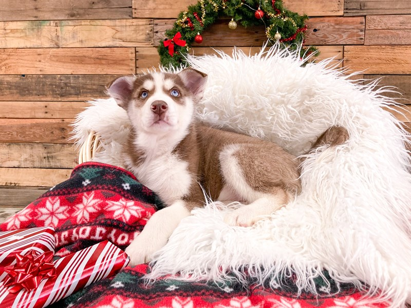 Siberian Husky-Male-Red / White-2922563-The Barking Boutique
