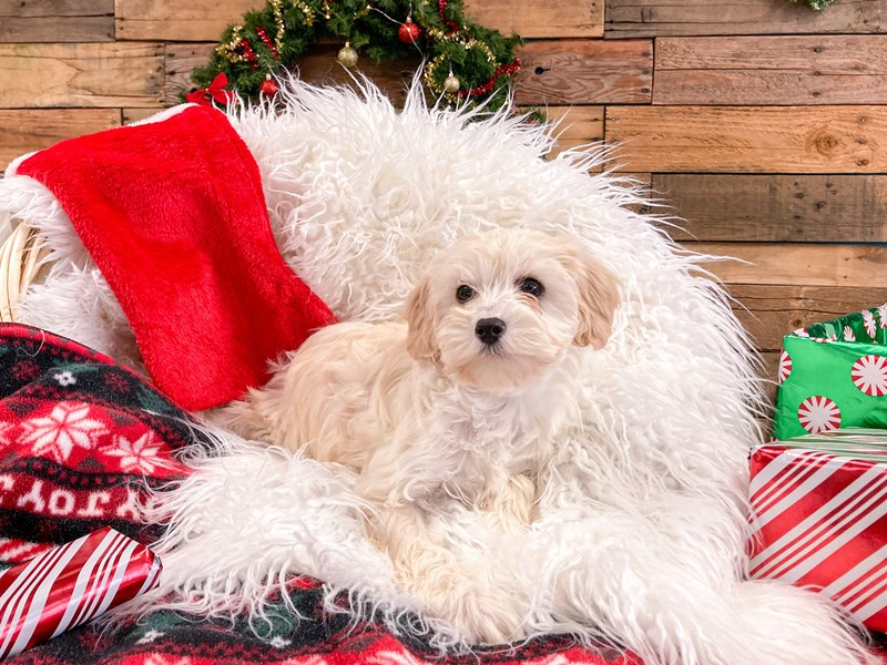 Cavapoo-Female--2922068-The Barking Boutique