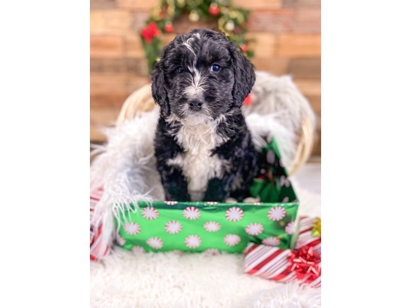 Bernadoodle-Male-Tri-color-2926933-The Barking Boutique