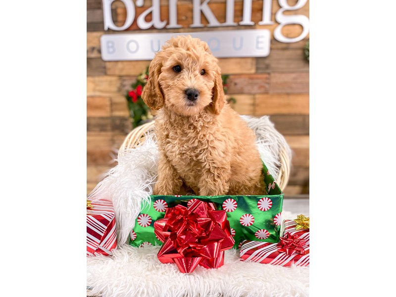 F1B Goldendoodle-Male--2927374-The Barking Boutique
