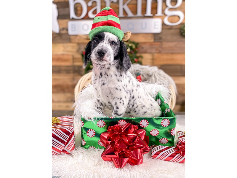 Dalmadoodle-Male--2926827-The Barking Boutique