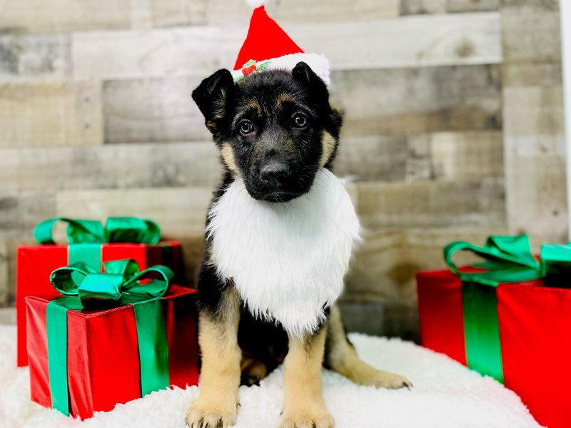 German Shepherd-Male-black and tan-2927253-The Barking Boutique