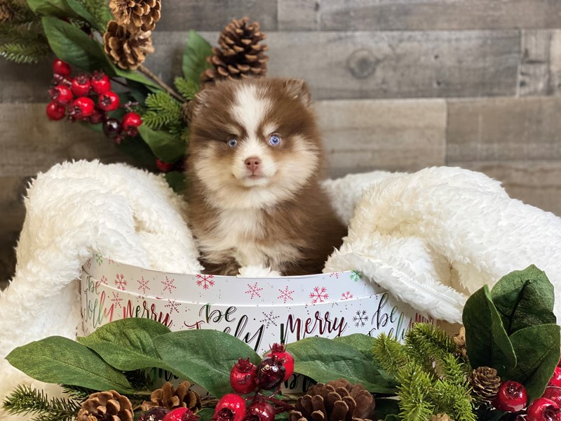 Pomsky 2nd Gen-Male-Chocolate / White-2929807-The Barking Boutique
