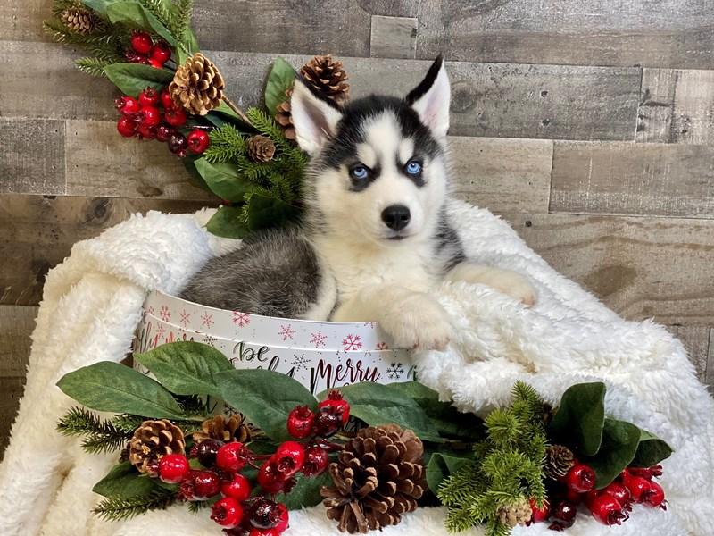 Siberian Husky-Male-Black / White-2929809-The Barking Boutique