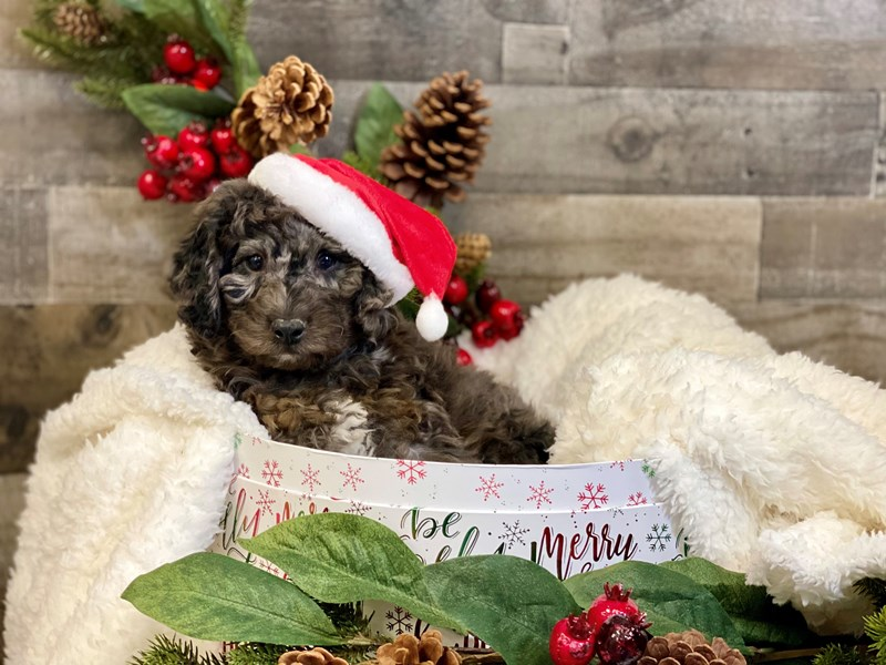 Mini Bernadoodle-Male-Blue Merle-2929827-The Barking Boutique