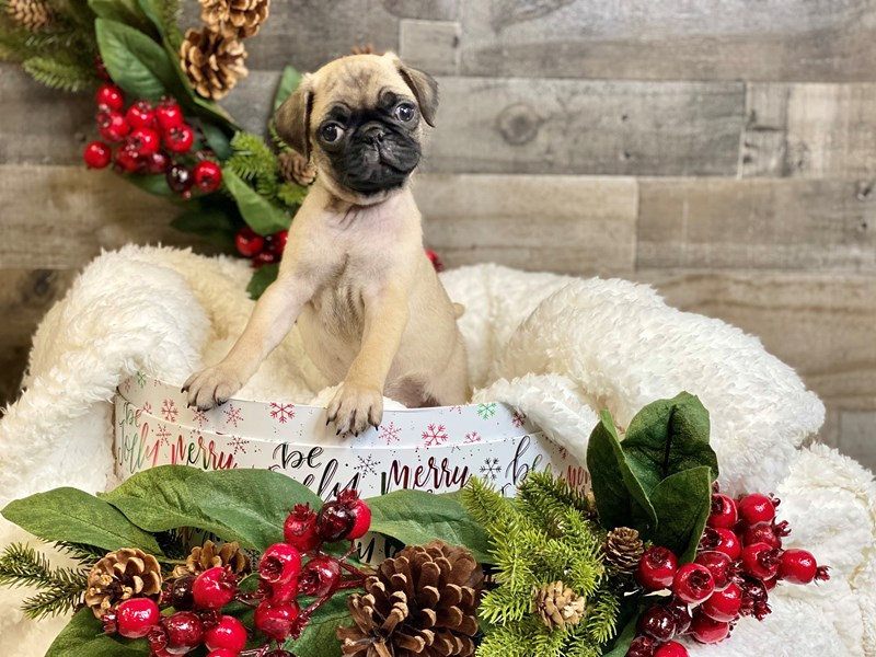 Pug-Female-Fawn-2929843-The Barking Boutique