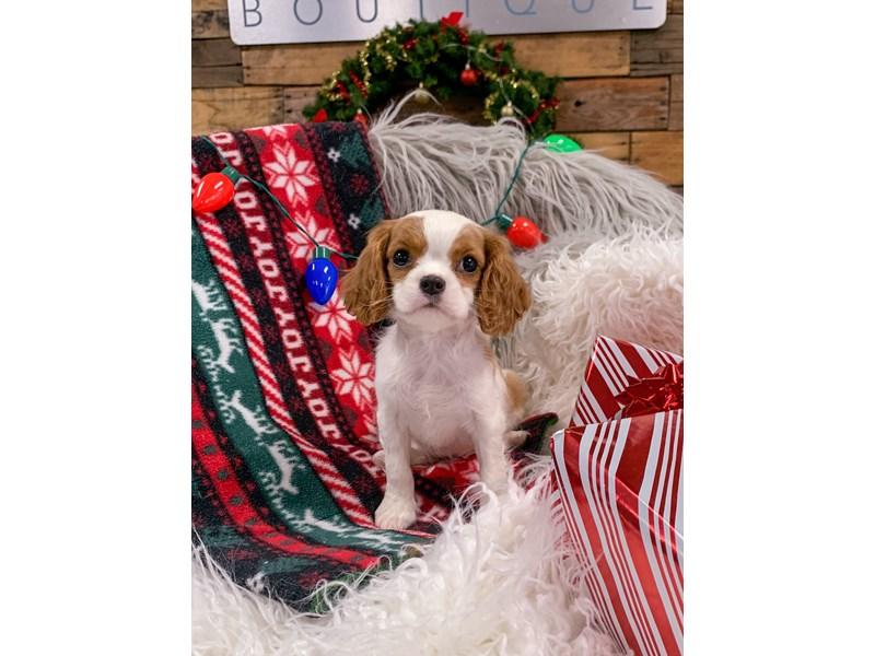 Cavalier King Charles Spaniel-Female-Blenheim-2929817-The Barking Boutique