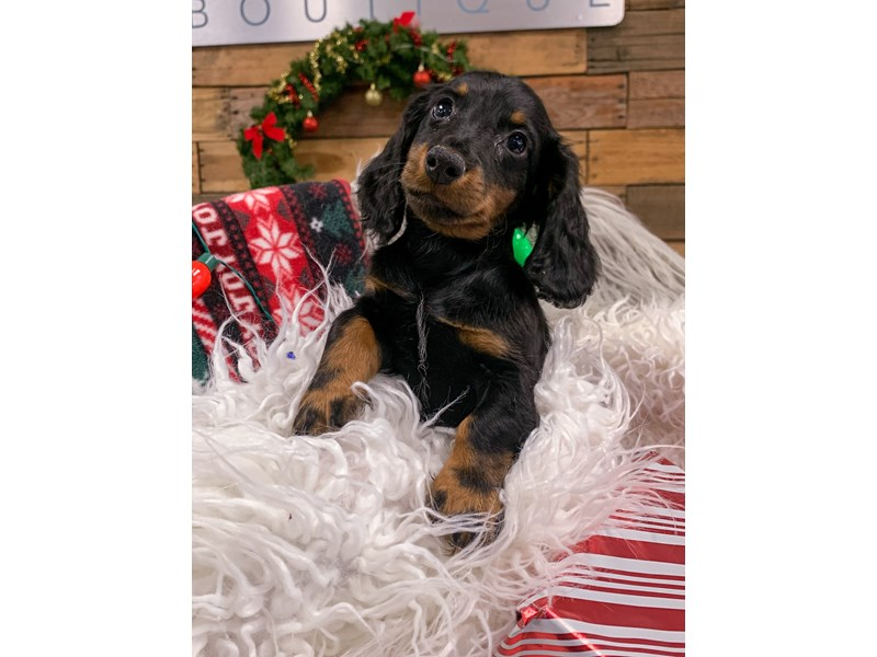 Dachshund-Male-Black / Tan-2929852-The Barking Boutique
