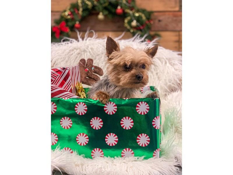 Yorkshire Terrier – Chesnut