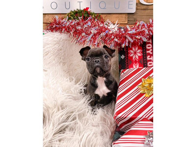 Frenchton-Male-Brdle-2934455-The Barking Boutique