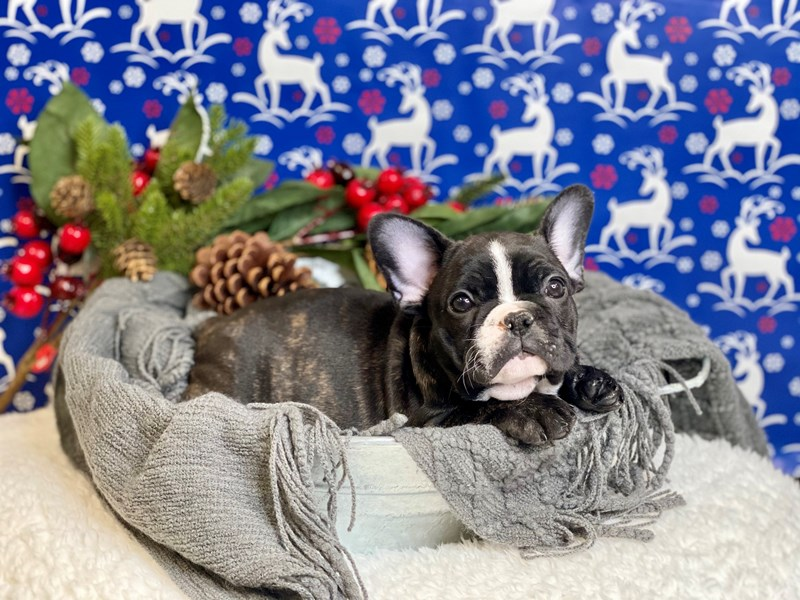 French Bulldog-Male-Brindle / White-2937926-The Barking Boutique
