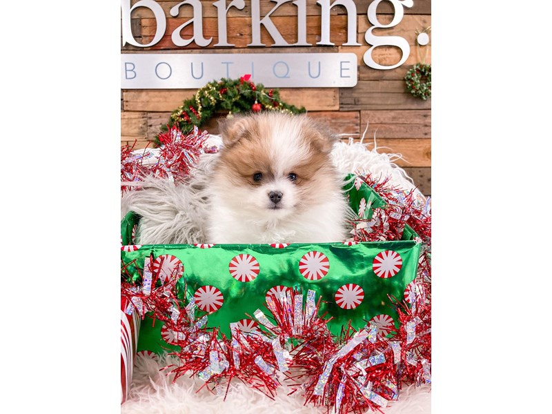 Pomeranian-Male-White / Sable-2937928-The Barking Boutique